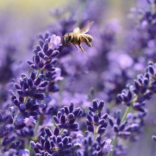Face Moisturiser Lavender 60ml